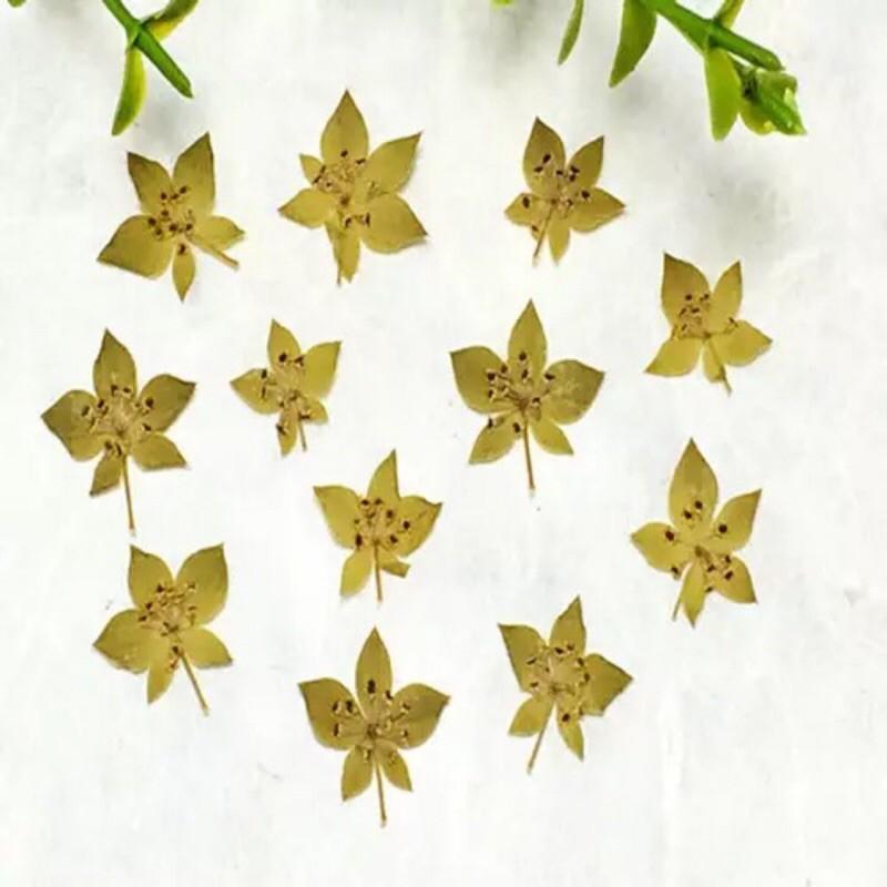 葉上黃金 兔耳草 12片裝(10入)