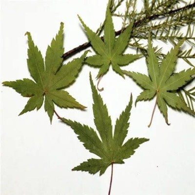 楓葉標本 滴膠乾花DIY手工花材押花材料乾花標本植物教學標本12片裝(5入) (8.4折)